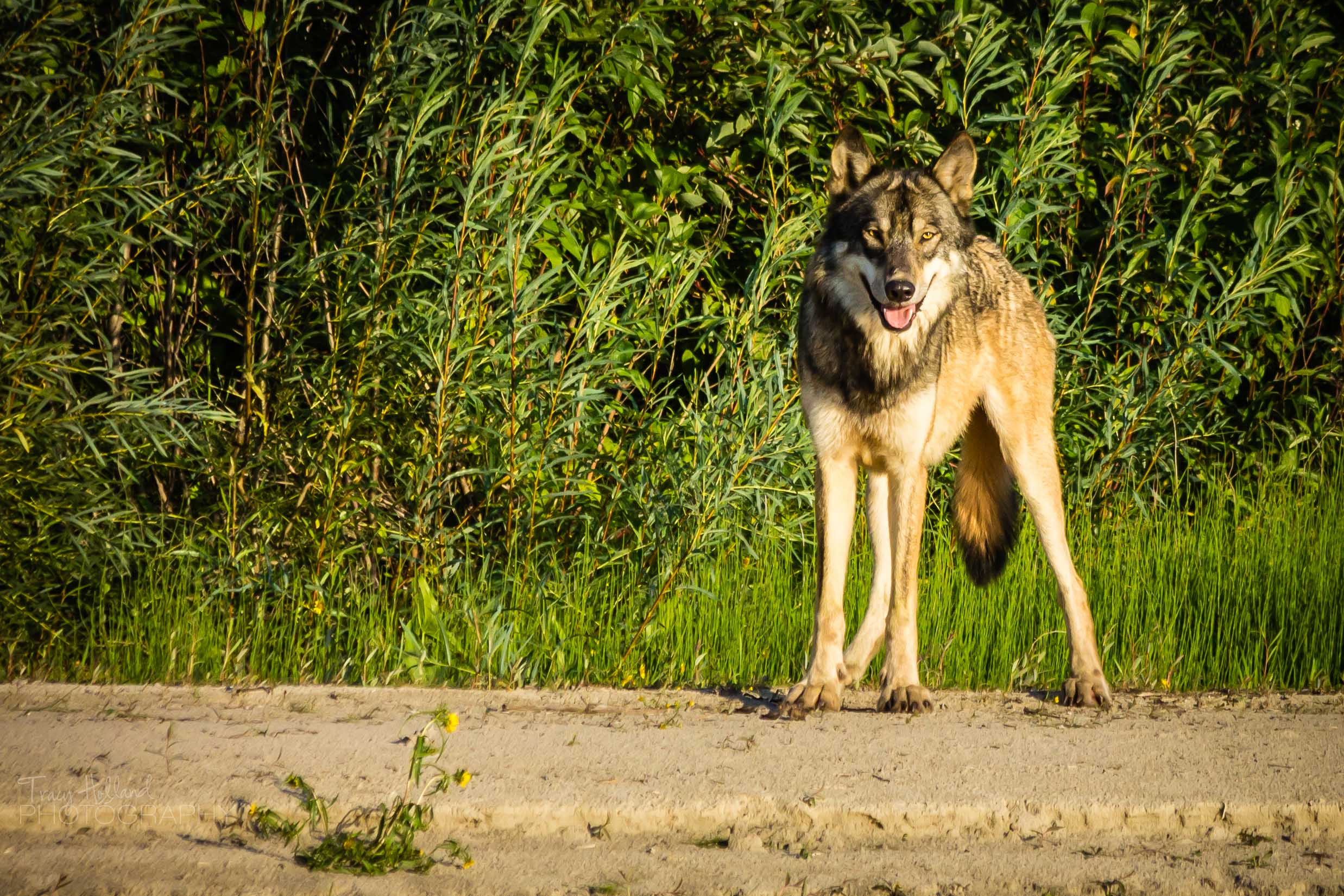 Wolf Prt 082214-9268.jpg