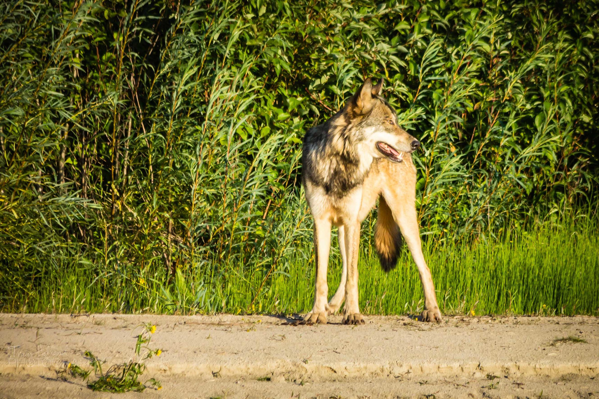 Wolf Prt 082214-9267.jpg