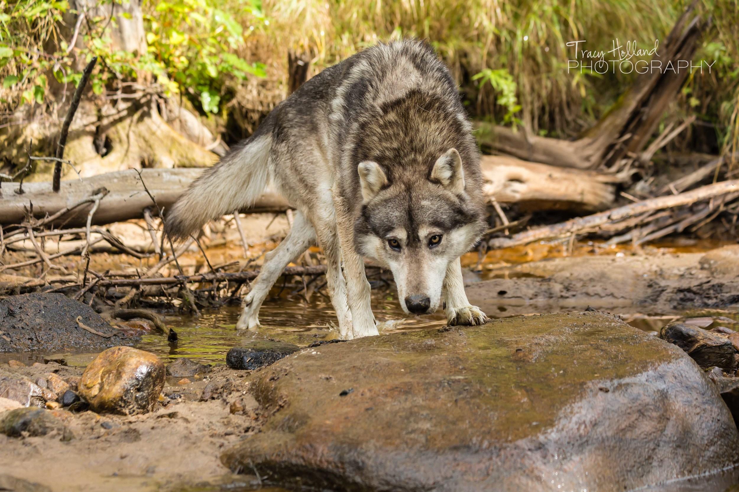 Wolf Project Blog-2-2.jpg