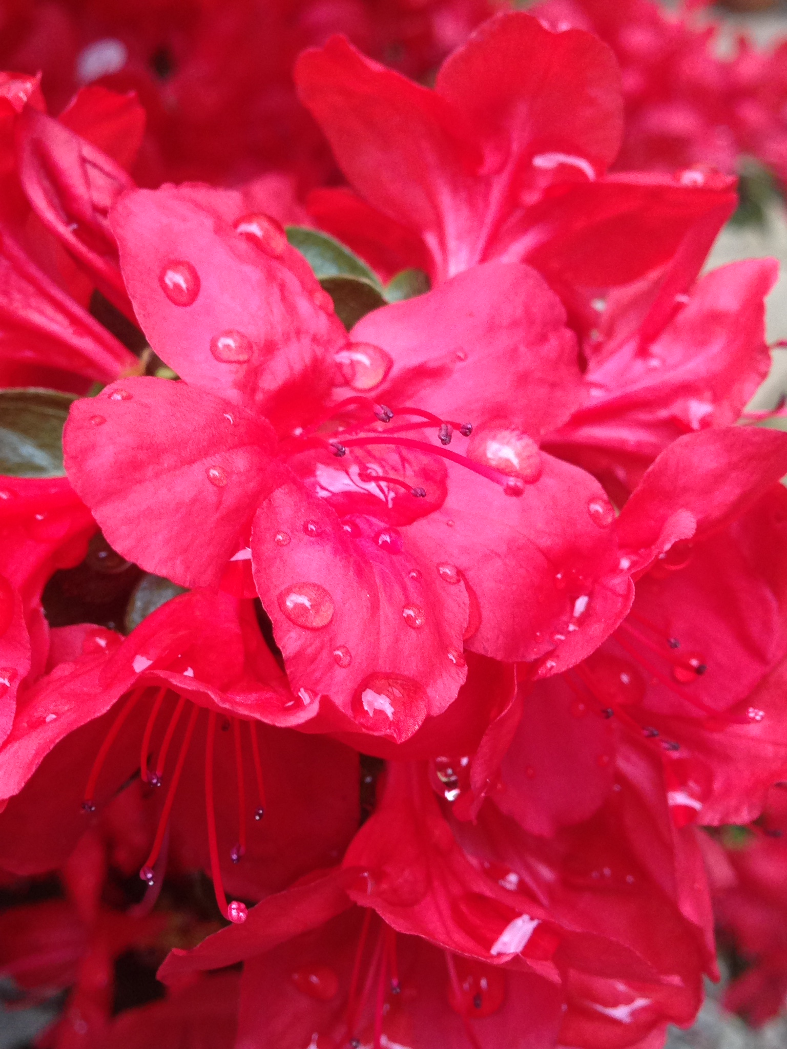 red plant with raindrops.JPG