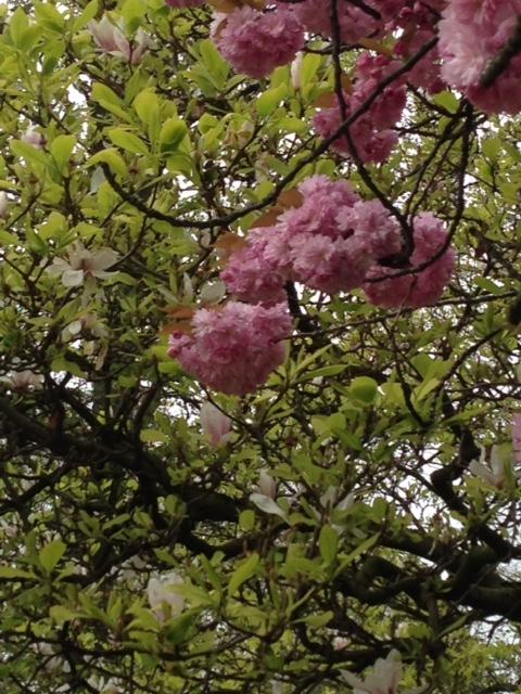 16-04 cherry blossom 3.JPG