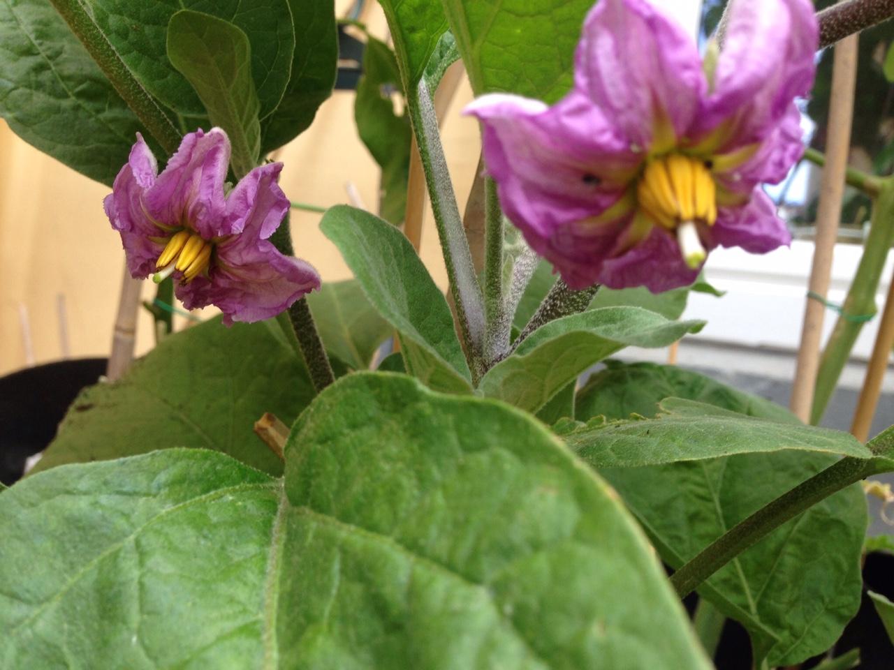 Aubergine flowers 1.JPG