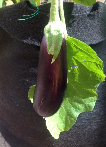 aubergine flowers 9.JPG
