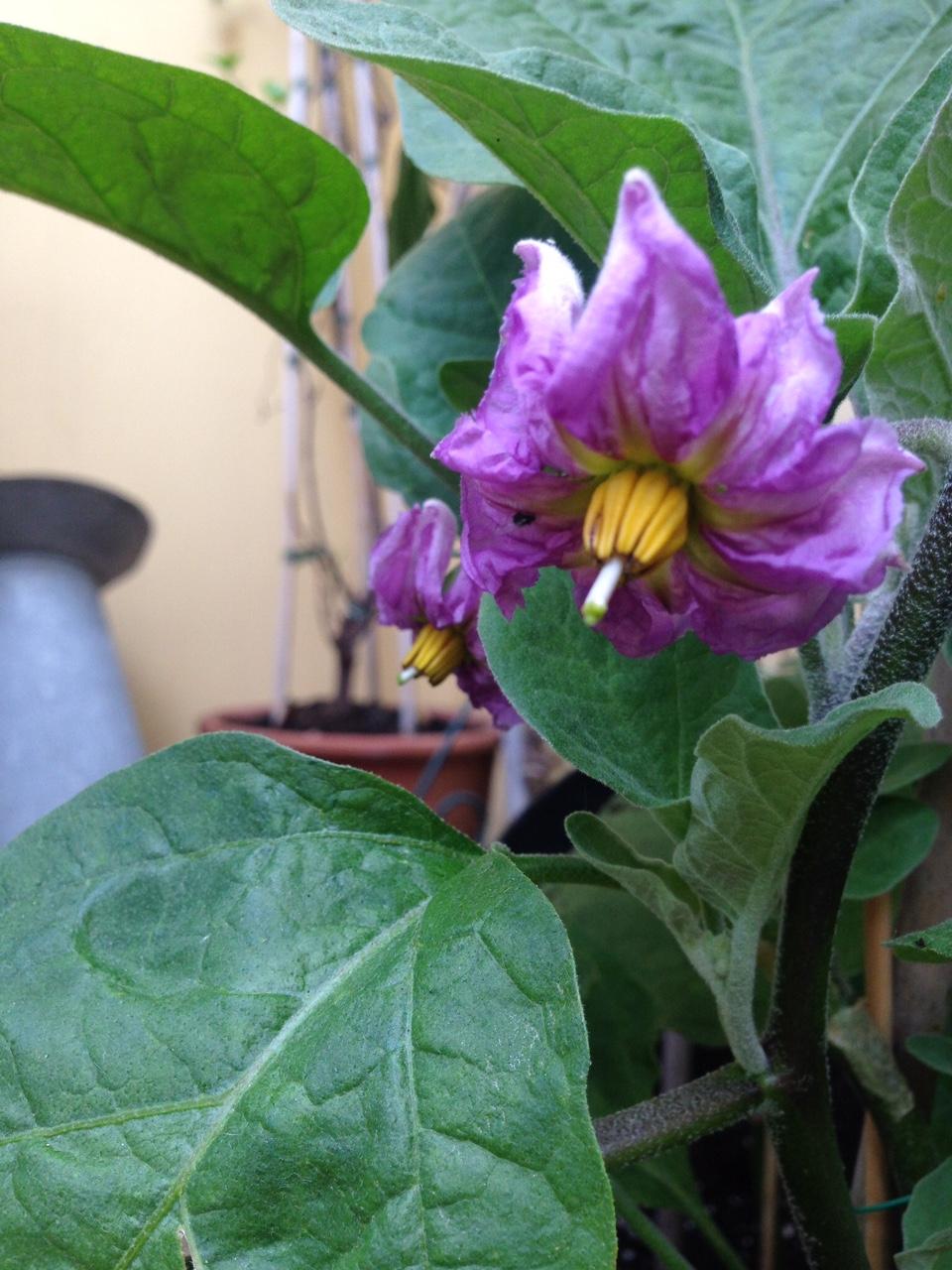 aubergine flowers 5.JPG