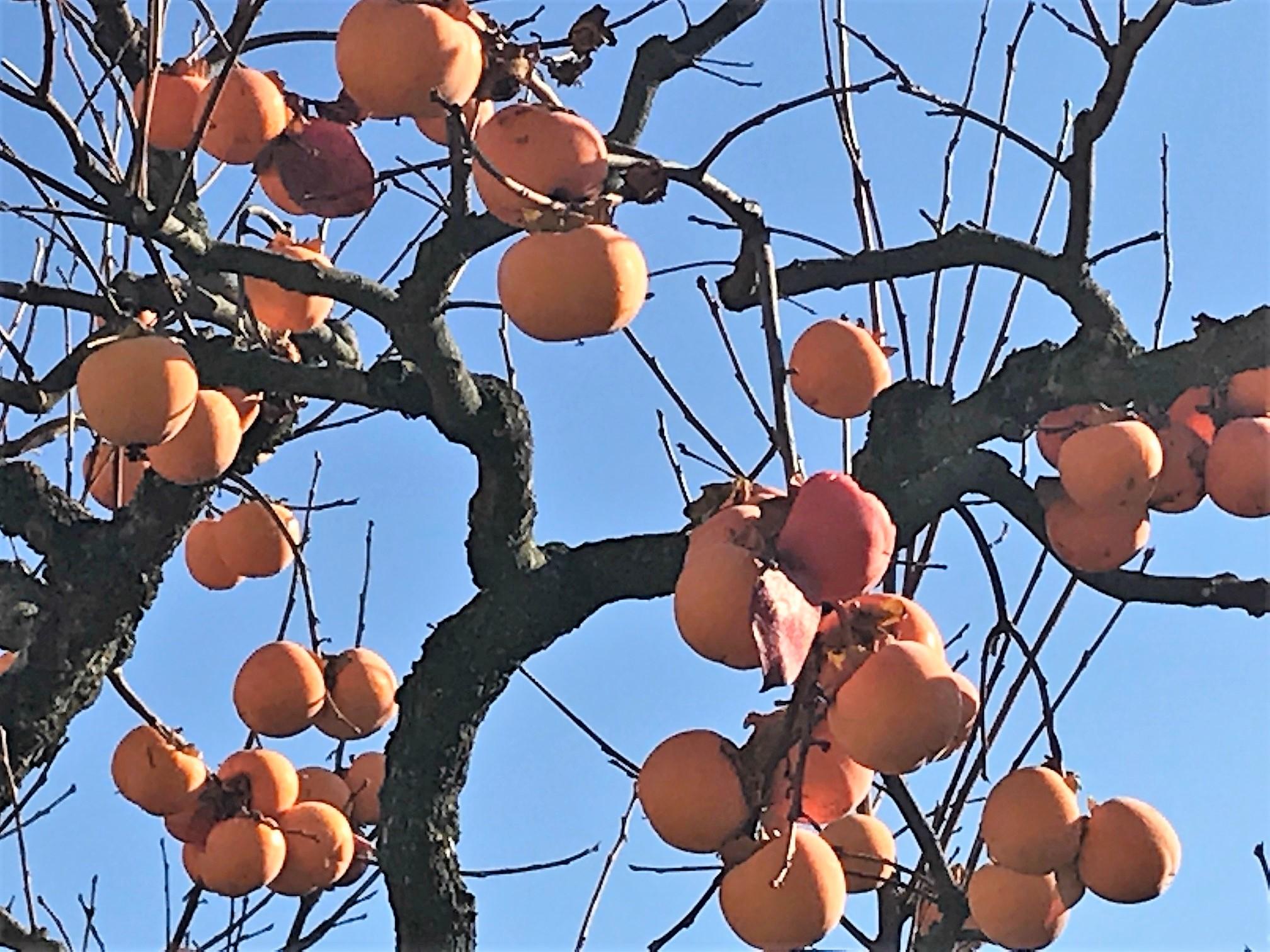 17-11 fruit tree 2.jpg