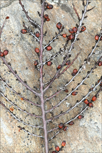 Berries and Branches 8x12 Photo $175.00.jpg
