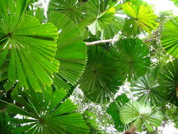 Palm leaves can be used as fans