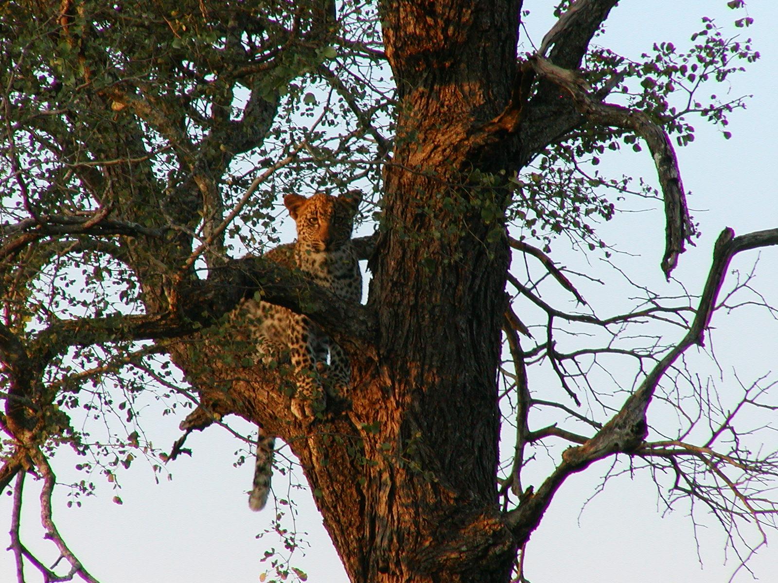 Leopard in the Kruger