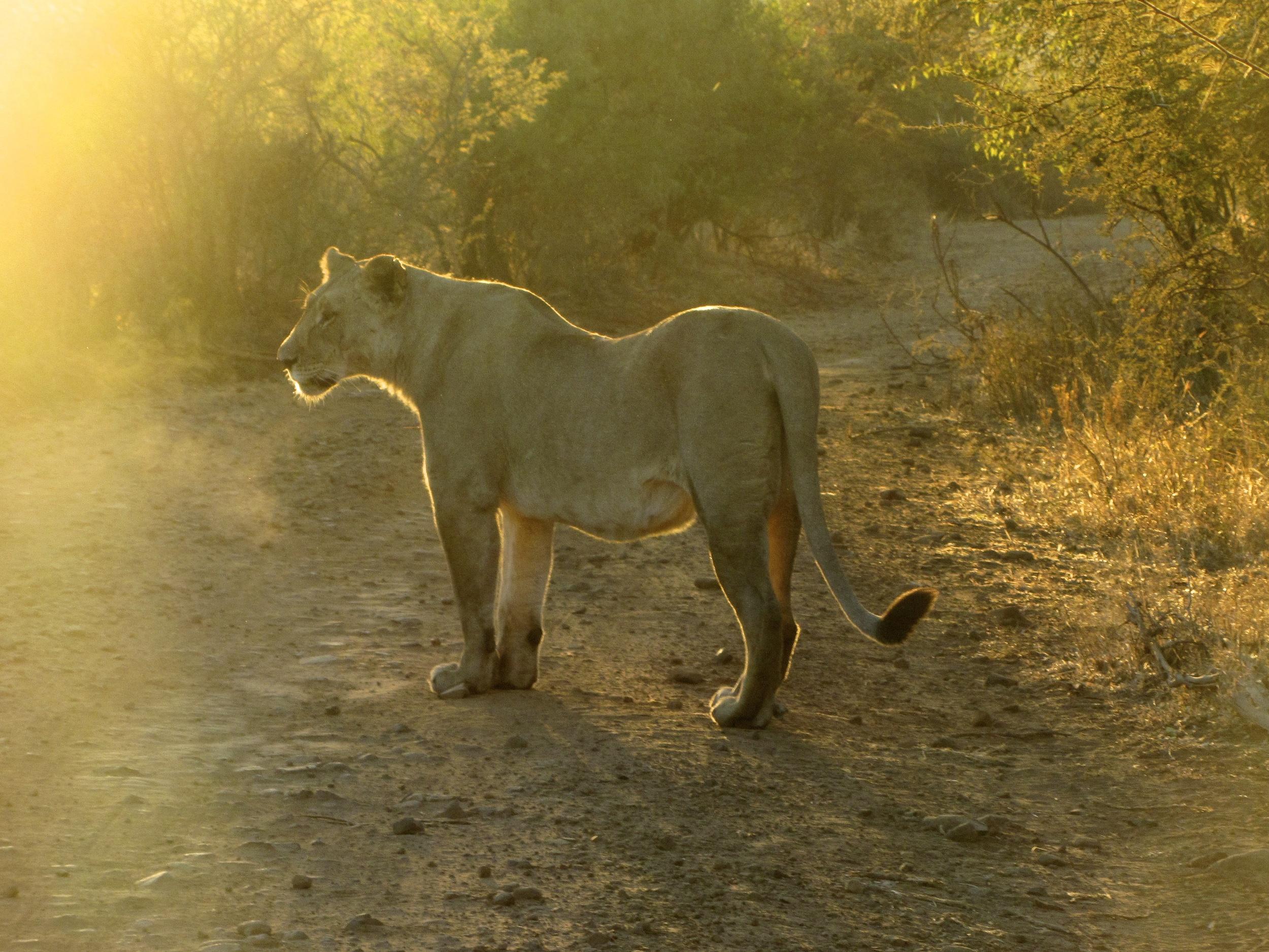 Lion at sunrise in Pilanesberg