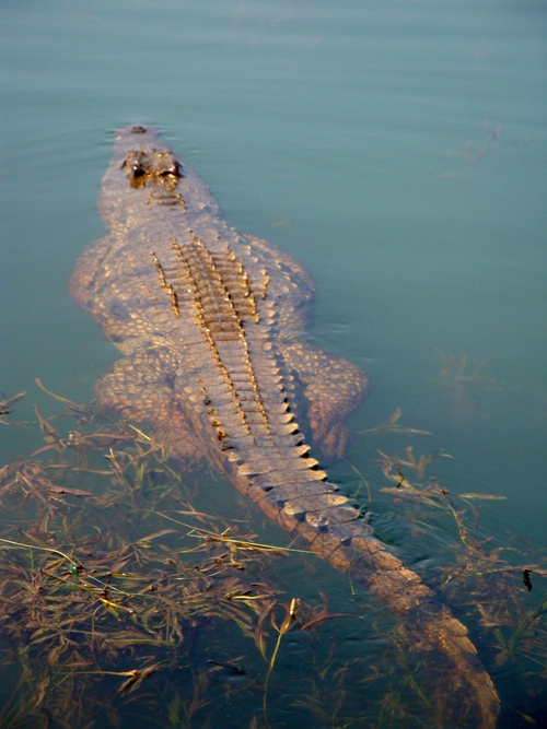 A crocodile at Mankwe Dam, Pilanesberg