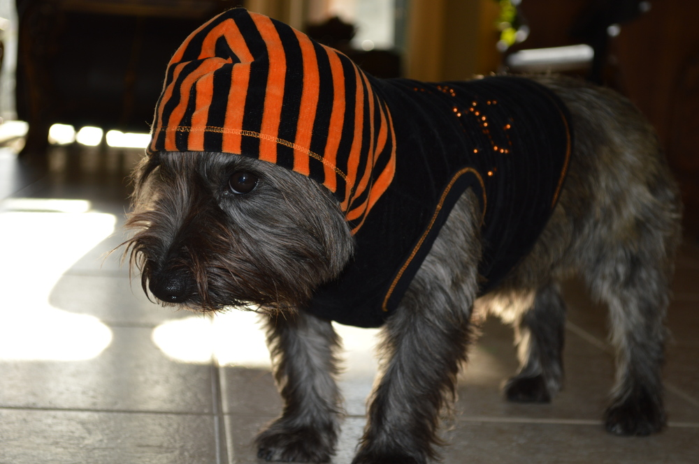 My reluctant Cairn Terrier dressed up for Halloween