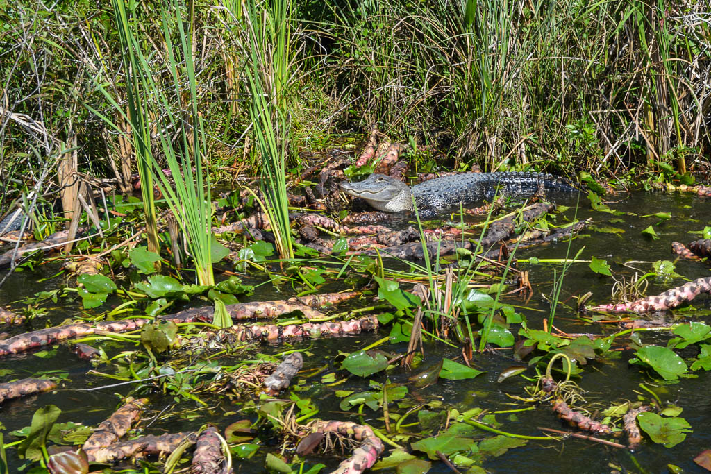 VISITING THE EVERGLADES: ALLIGATOR WITH COOPER TOWN AIR BOAT TOUR