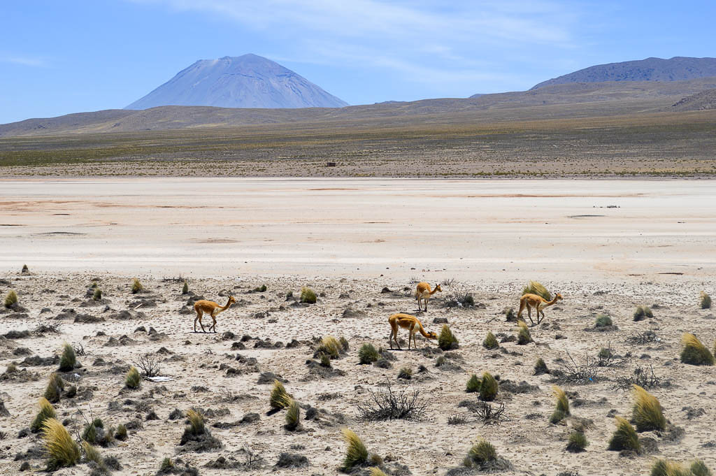 Vicuna and Volcano in Salinas and Aguada Blanca National Reservation