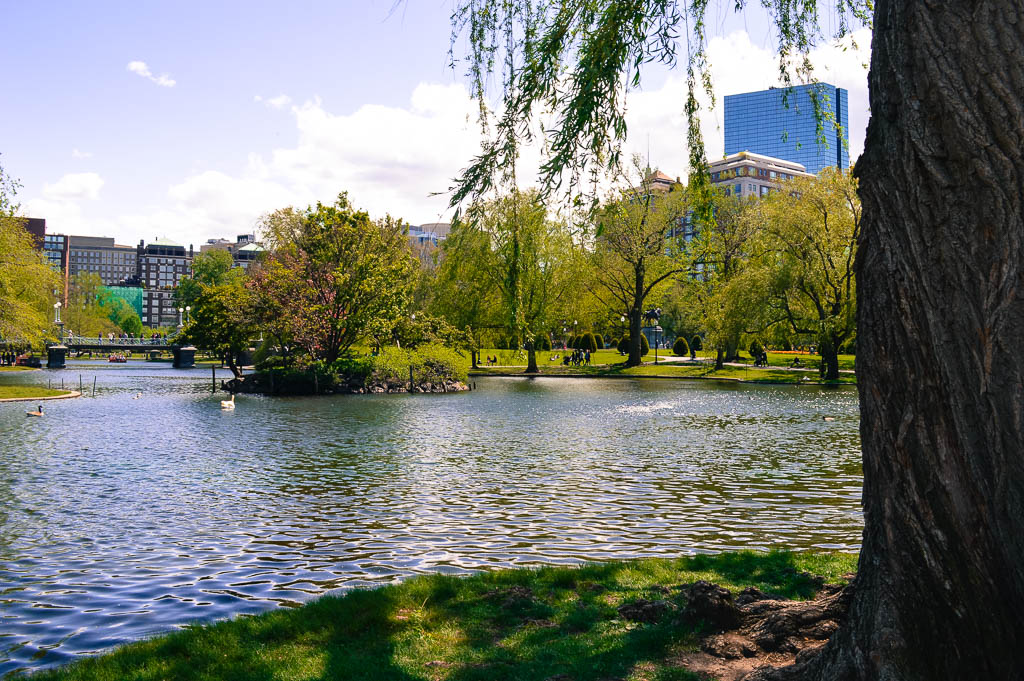 THINGS TO DO IN MA: THE LAKE IN BOSTON'S PUBLIC GARDENS - TRUMPET OF THE SWAN SITE