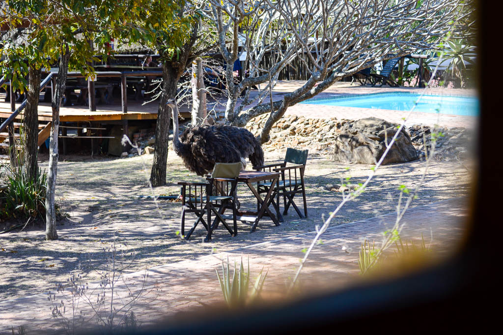 An ostrich wandering through Thornhill Safari Lodge