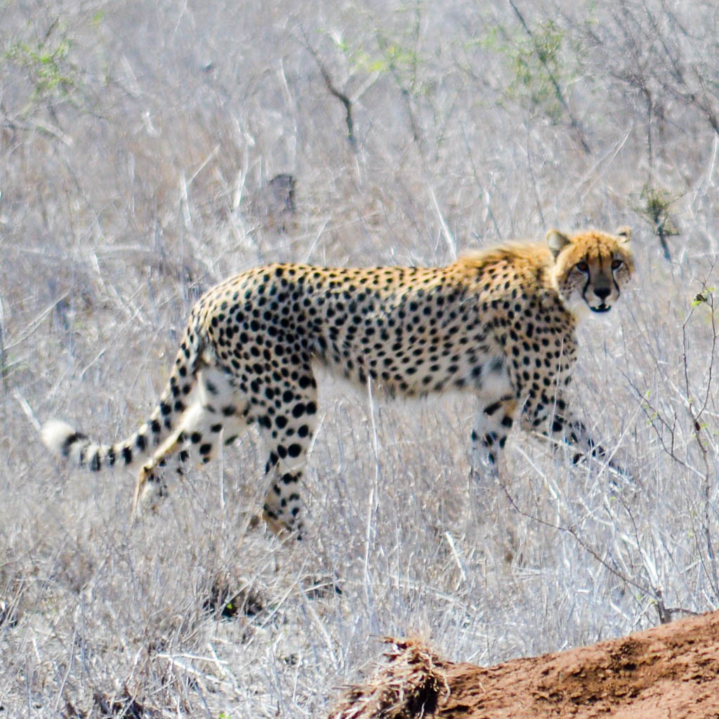 CHEETAH ON SAFARI IN THE KRUGER NATIONAL PARK