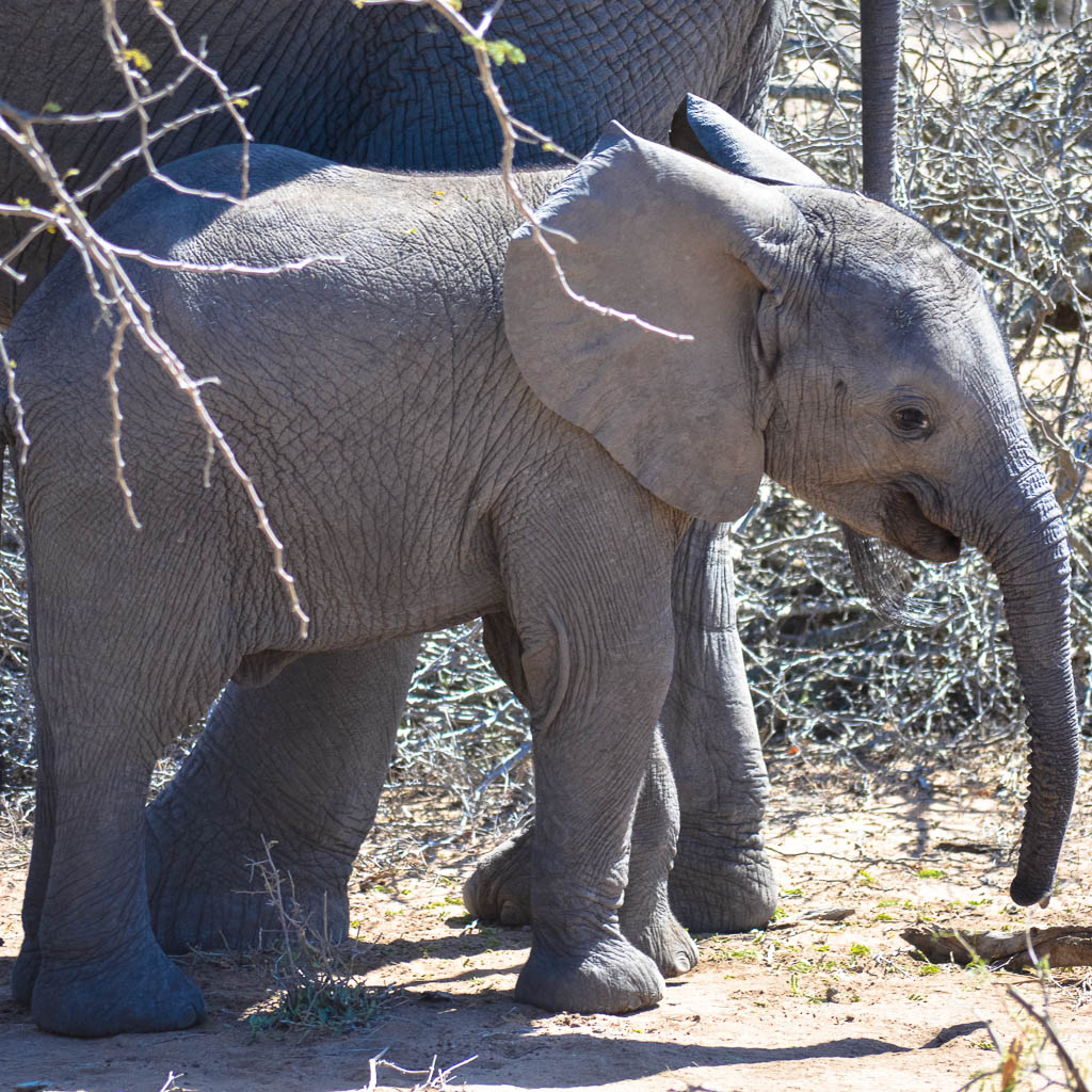 Baby Elephant on safari in the Kruger National Park