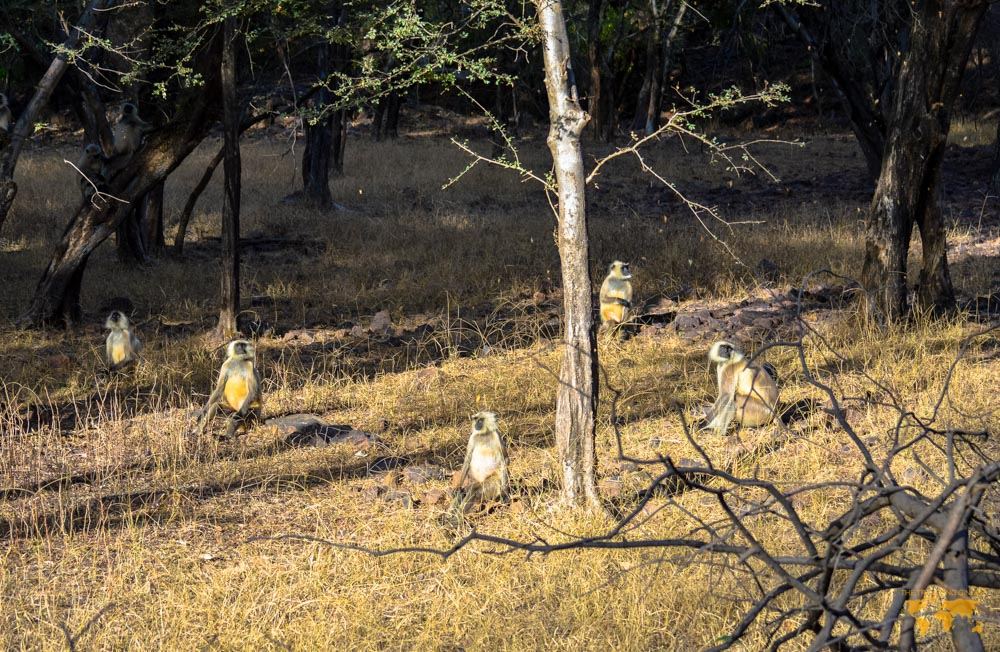 MONKEYS IN RANTHAMBORE NATIONAL PARK INDIA