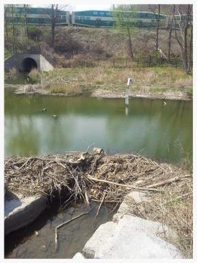 Rouge Hill Beaver Dam