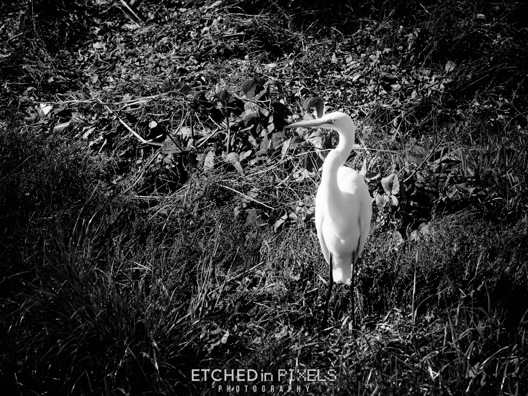 The estuary is home to many Snowy White Egrets. As we were leaving, this massive bird came to land just a short distance away.