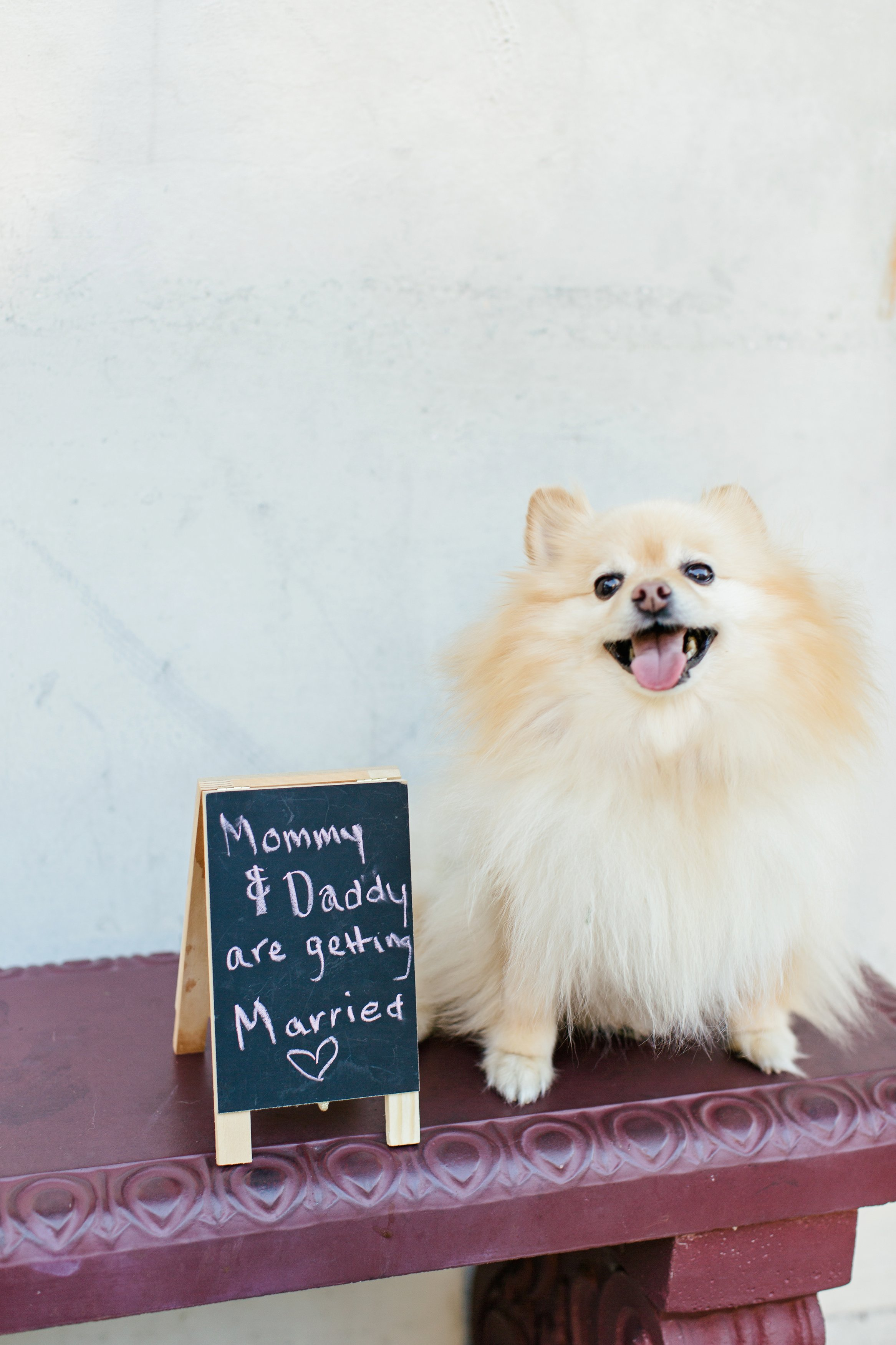 pomeranian smiling engagement shoot