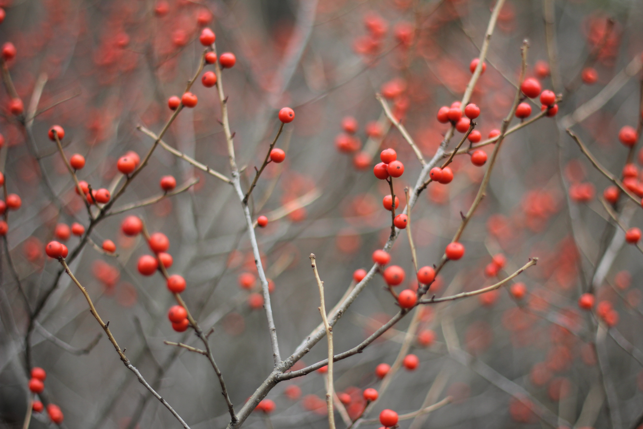 {Winter berries popping up in our front yard}