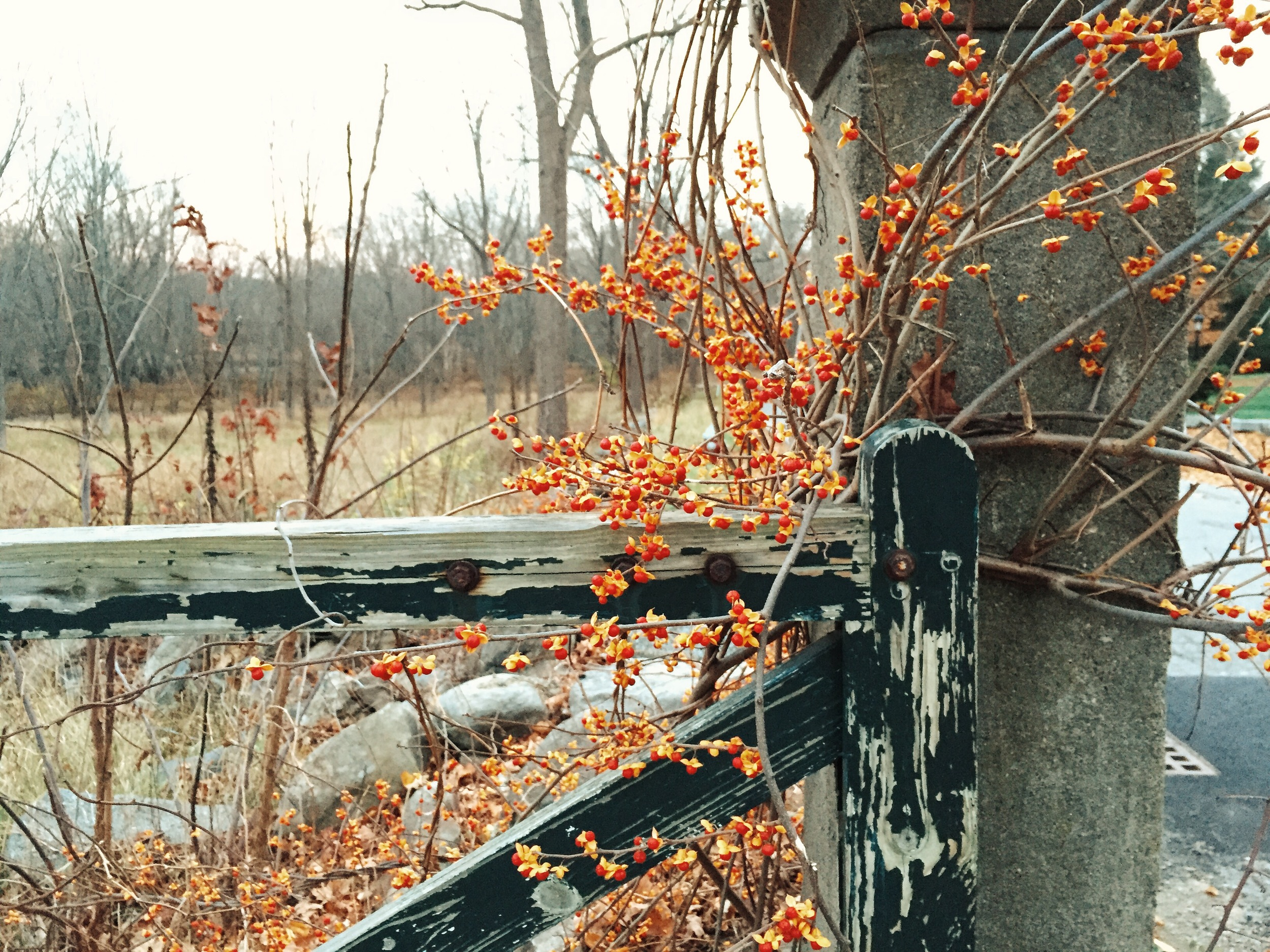 {Pretty fall berries on a walk to the North Bridge}