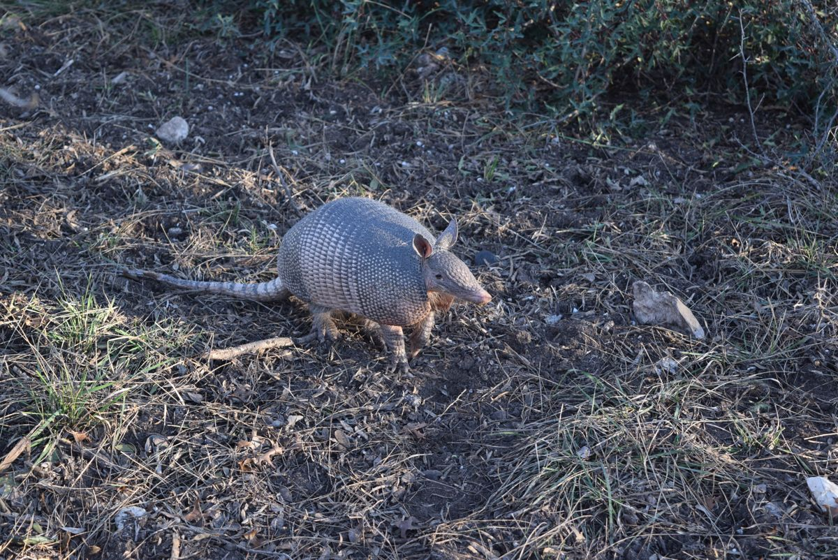 The armadillo that got away...