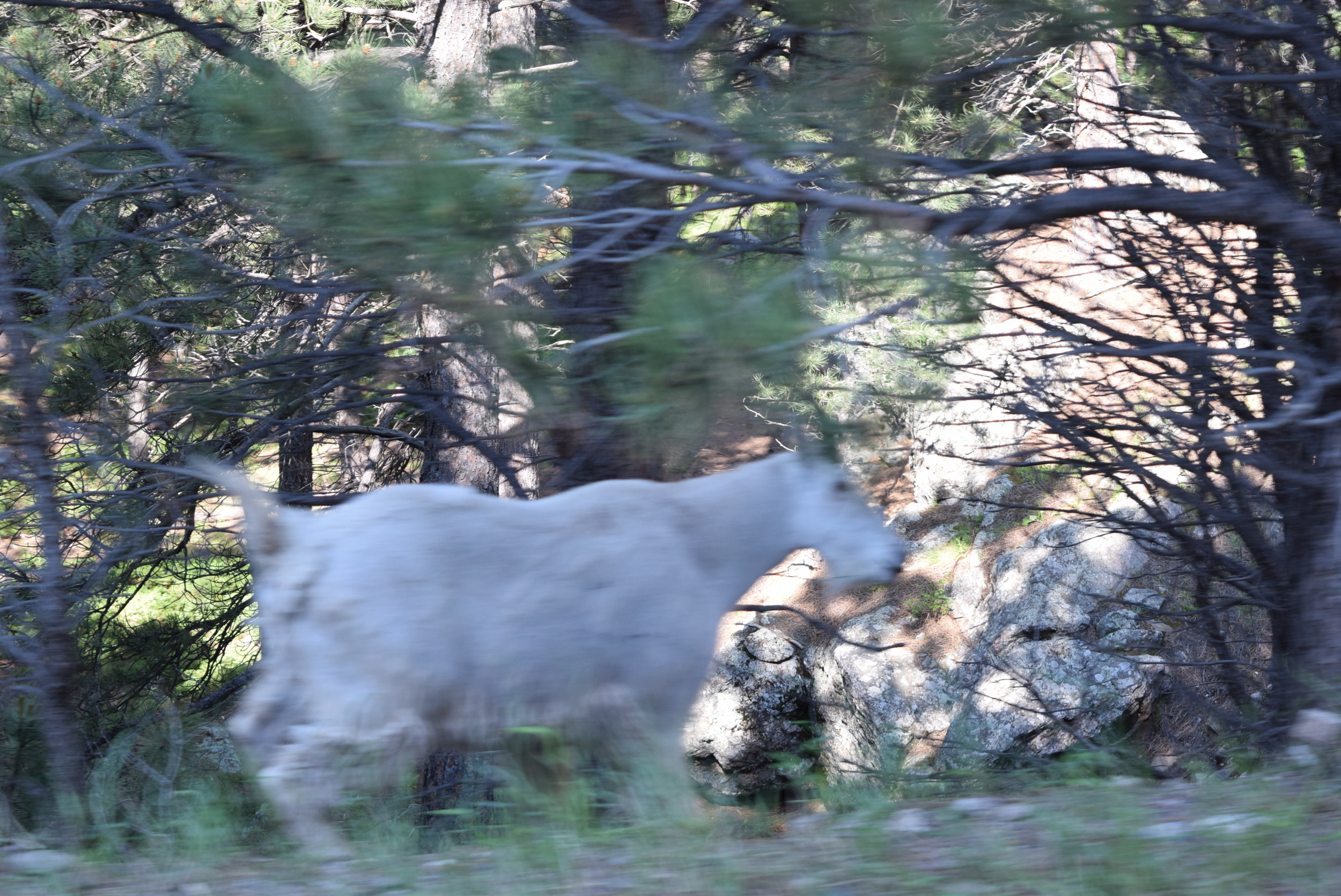 Mama or Papa mountain goat. I got this shot out the window on the fly. A little blurry.