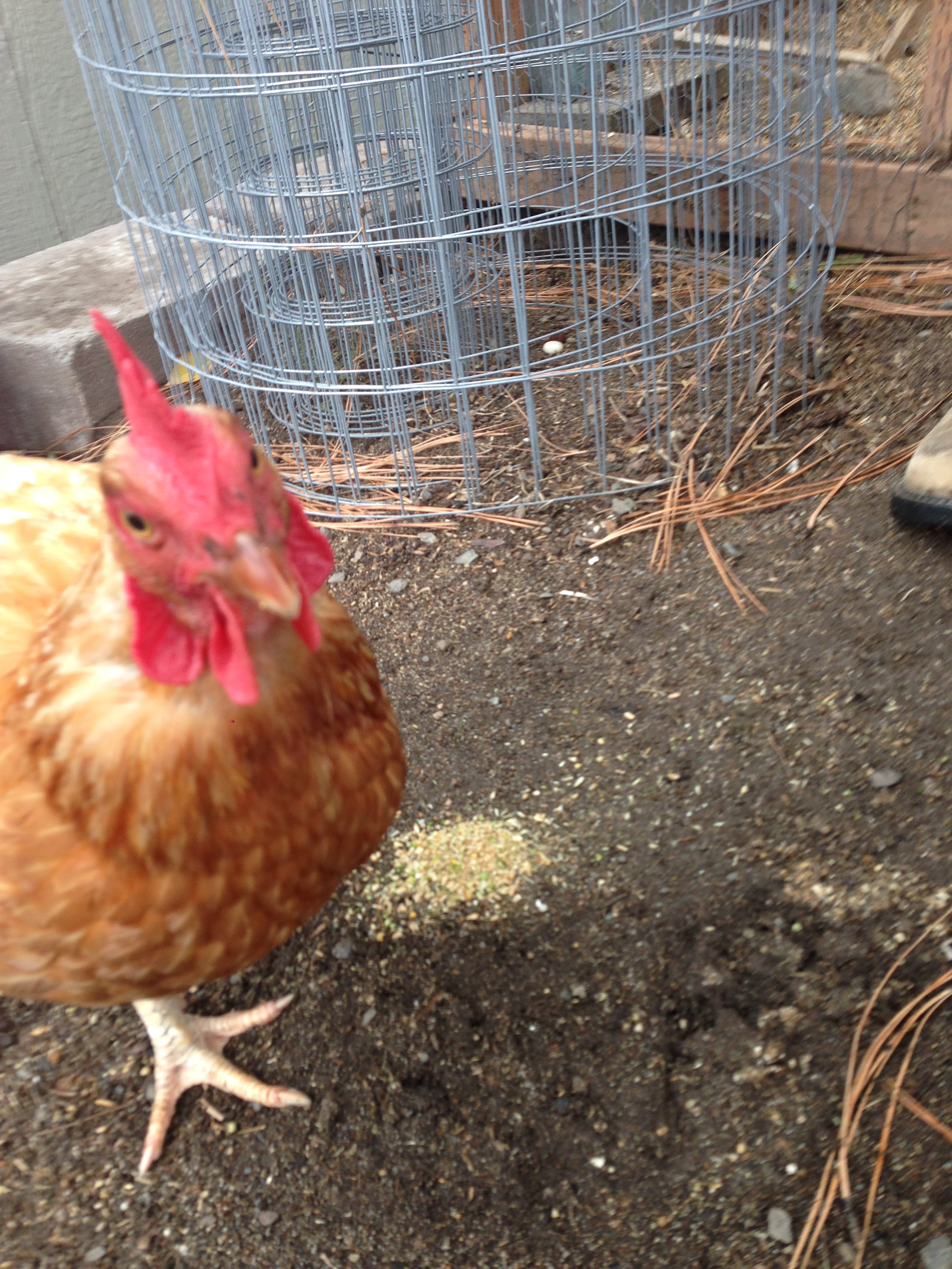 Visiting my new friend, Liz and her chickens in Spokane Valley. This Isn't Liz, but one of the hens.