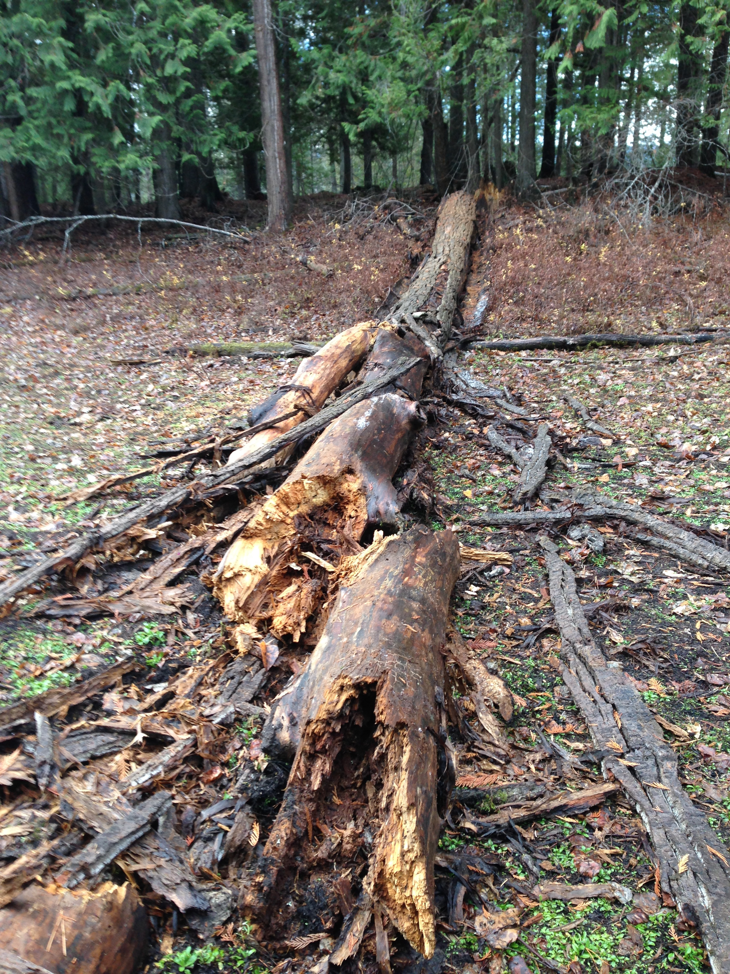 On a really windy day we heard and felt a big boom. This standing dead tree fell into the dry pond.
