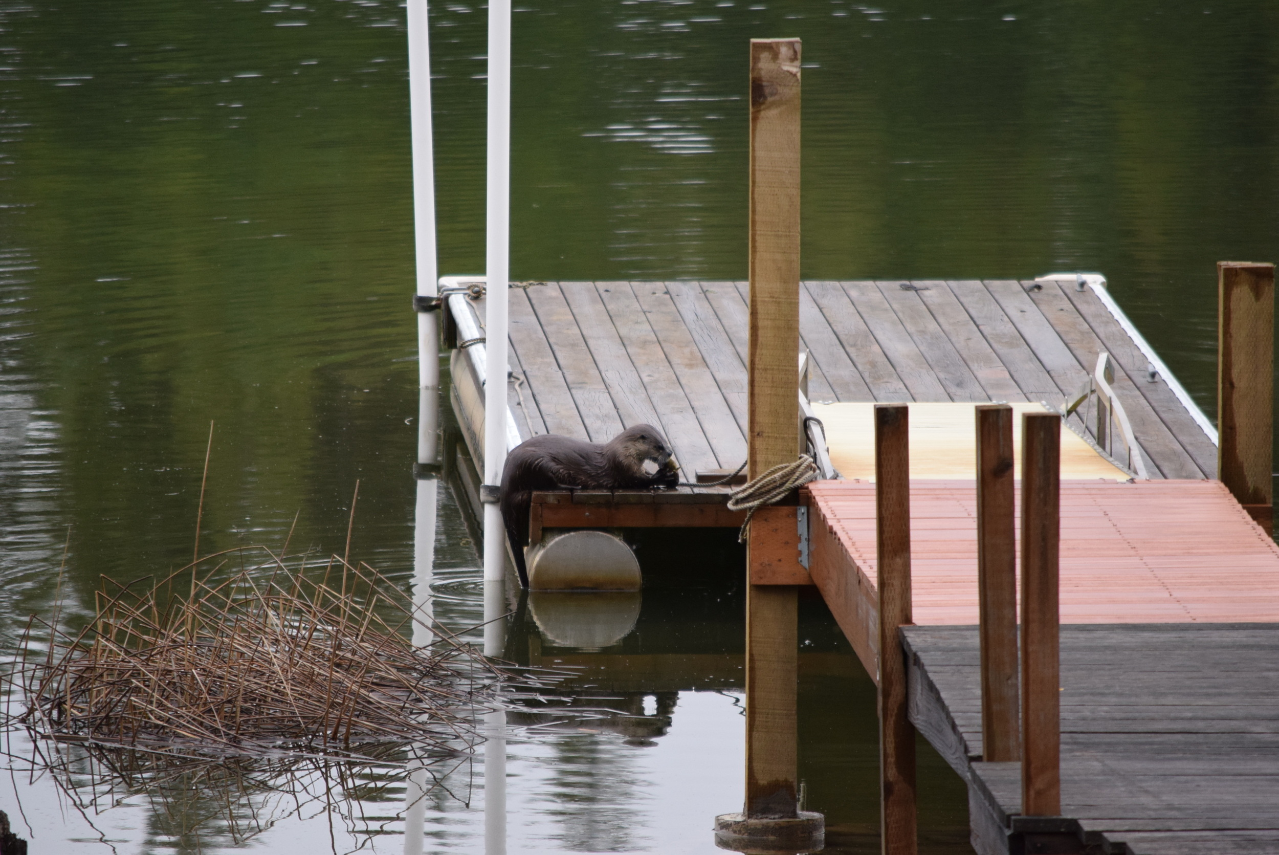 An otter, just having some dinner on the dock.