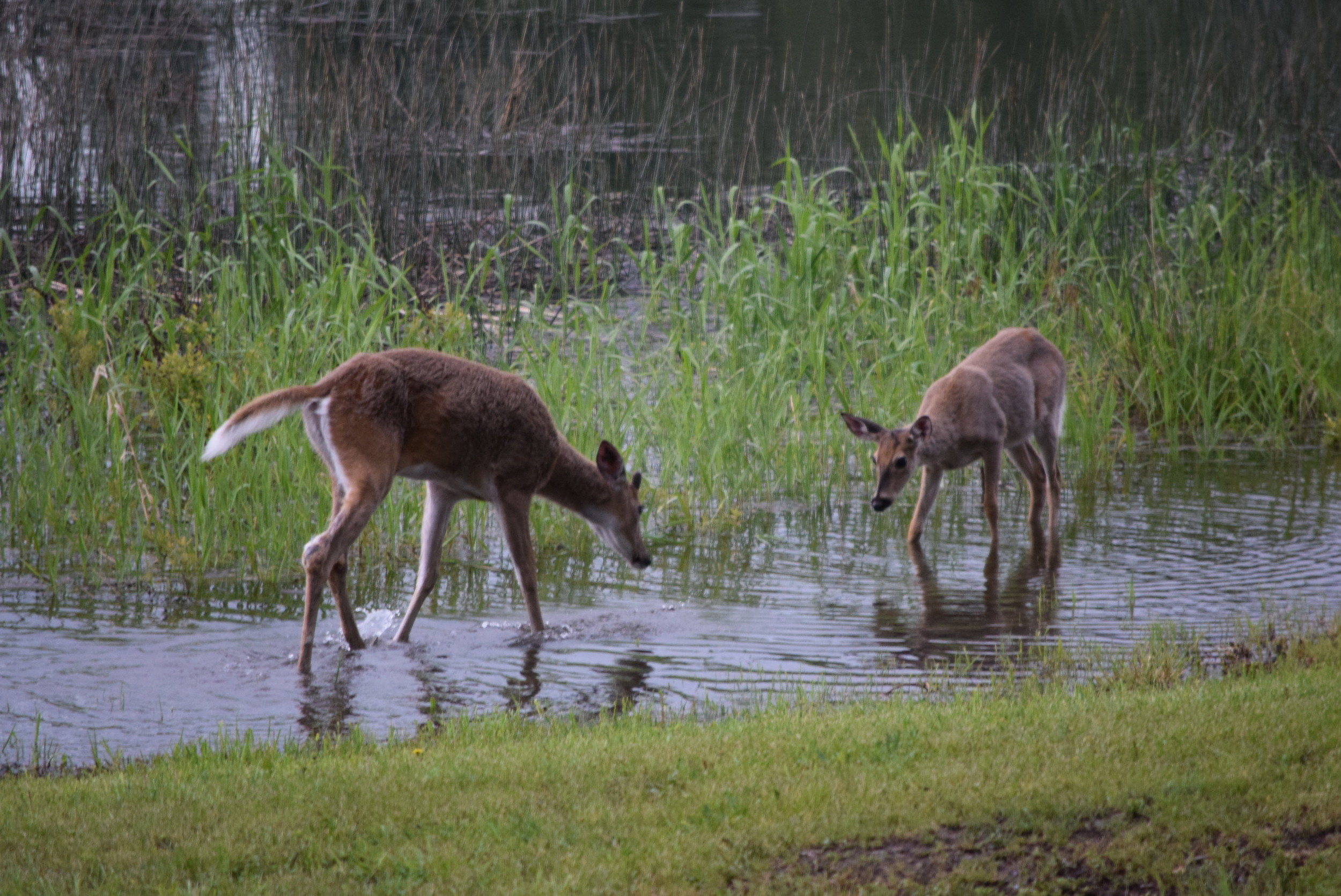 These bucks were playing and splashing in the water.