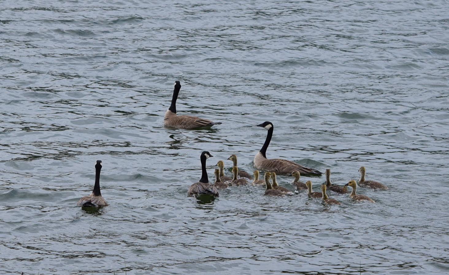 Goose family.
