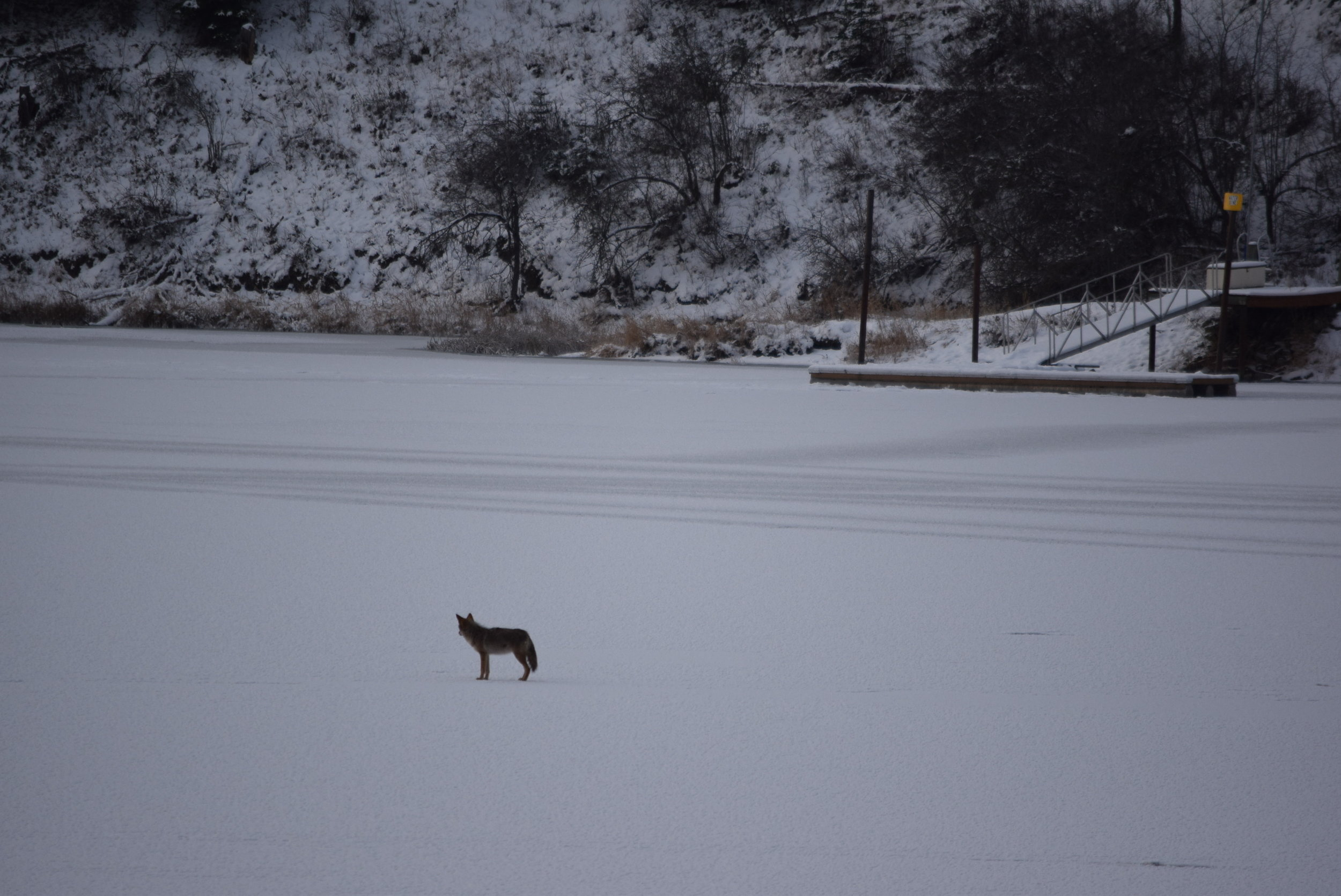Coyote on the frozen river.