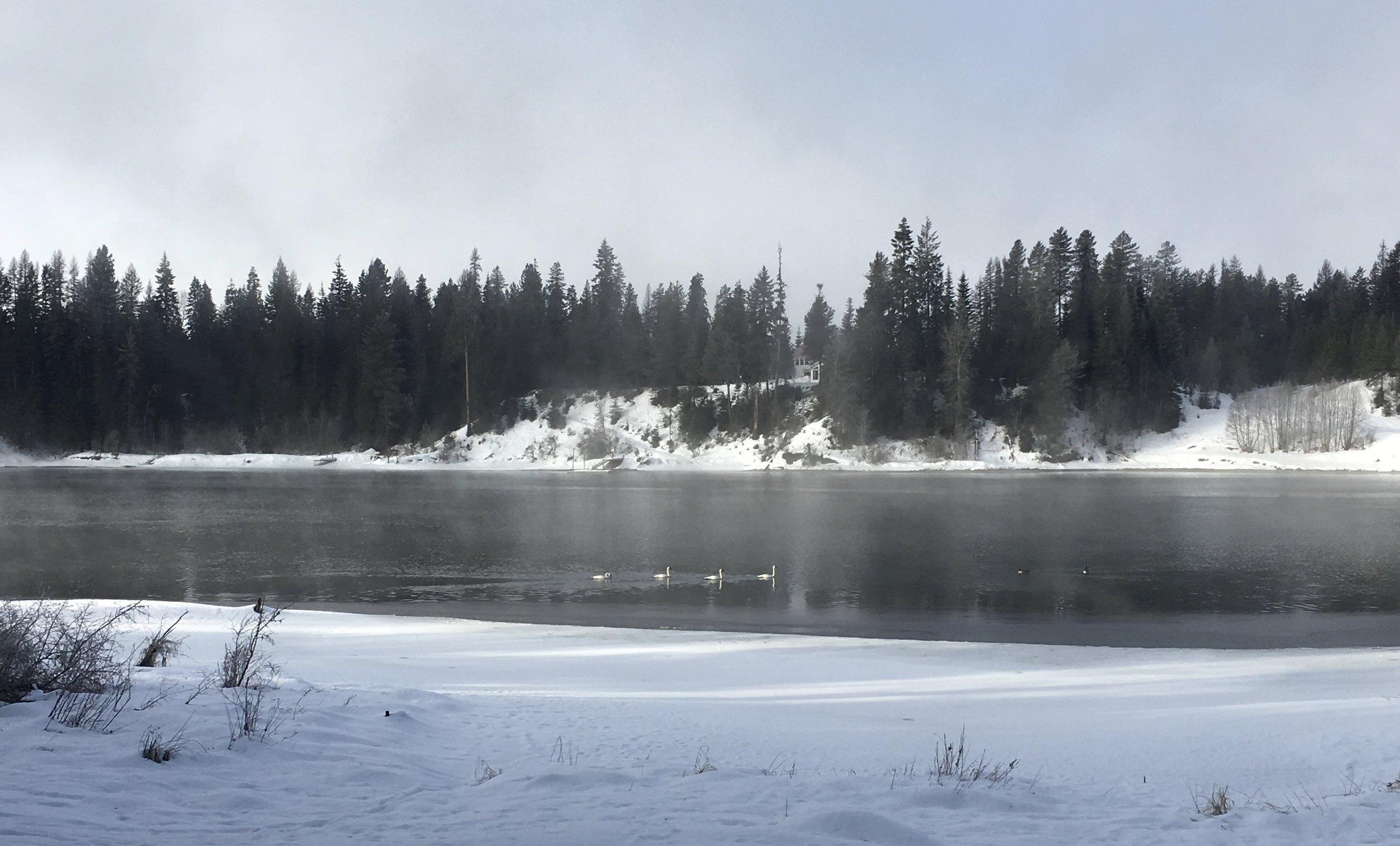 Tundra swans.