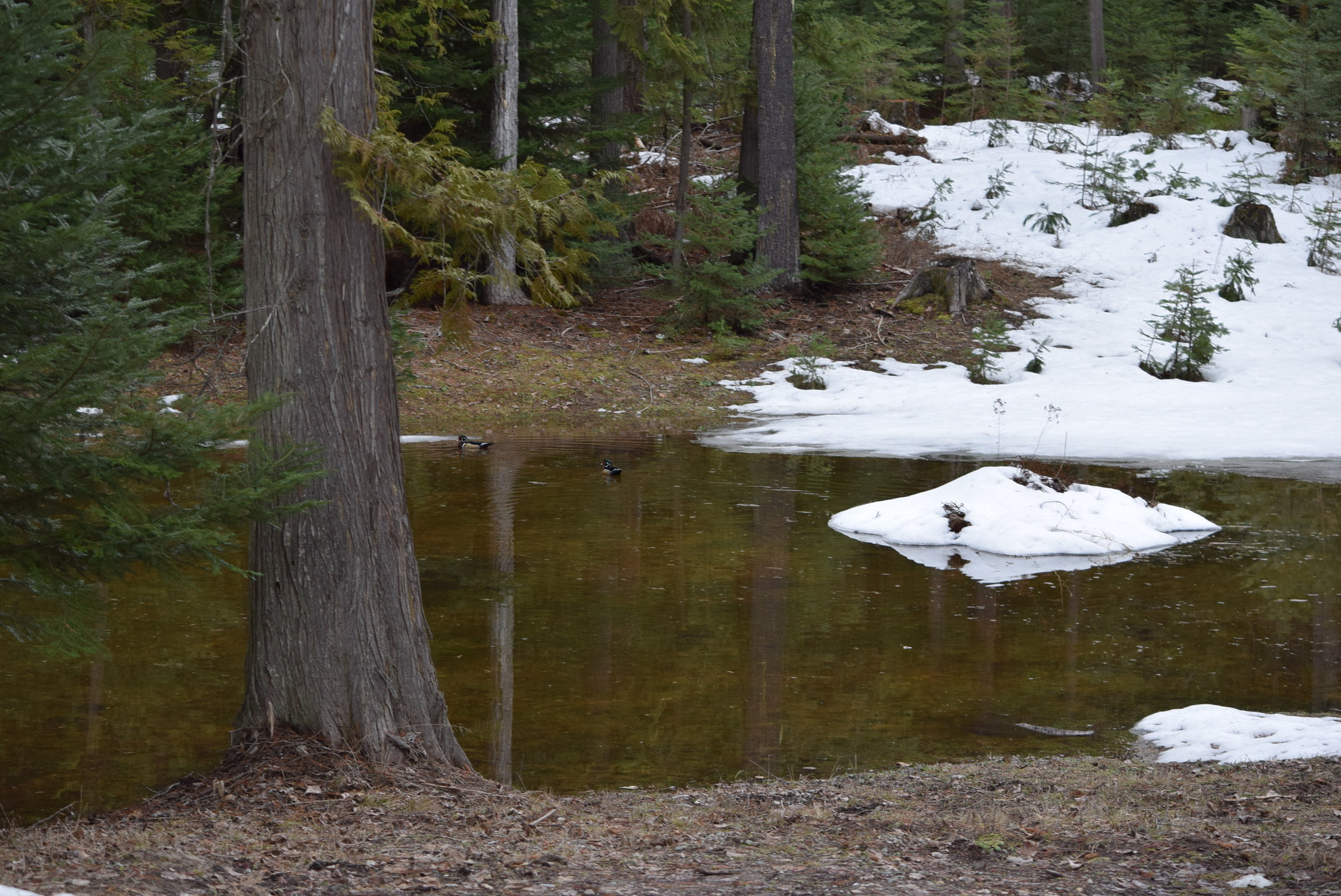 This isn't even the pond. This is the first time we've had standing water in this area. Notice the ducks enjoying it?
