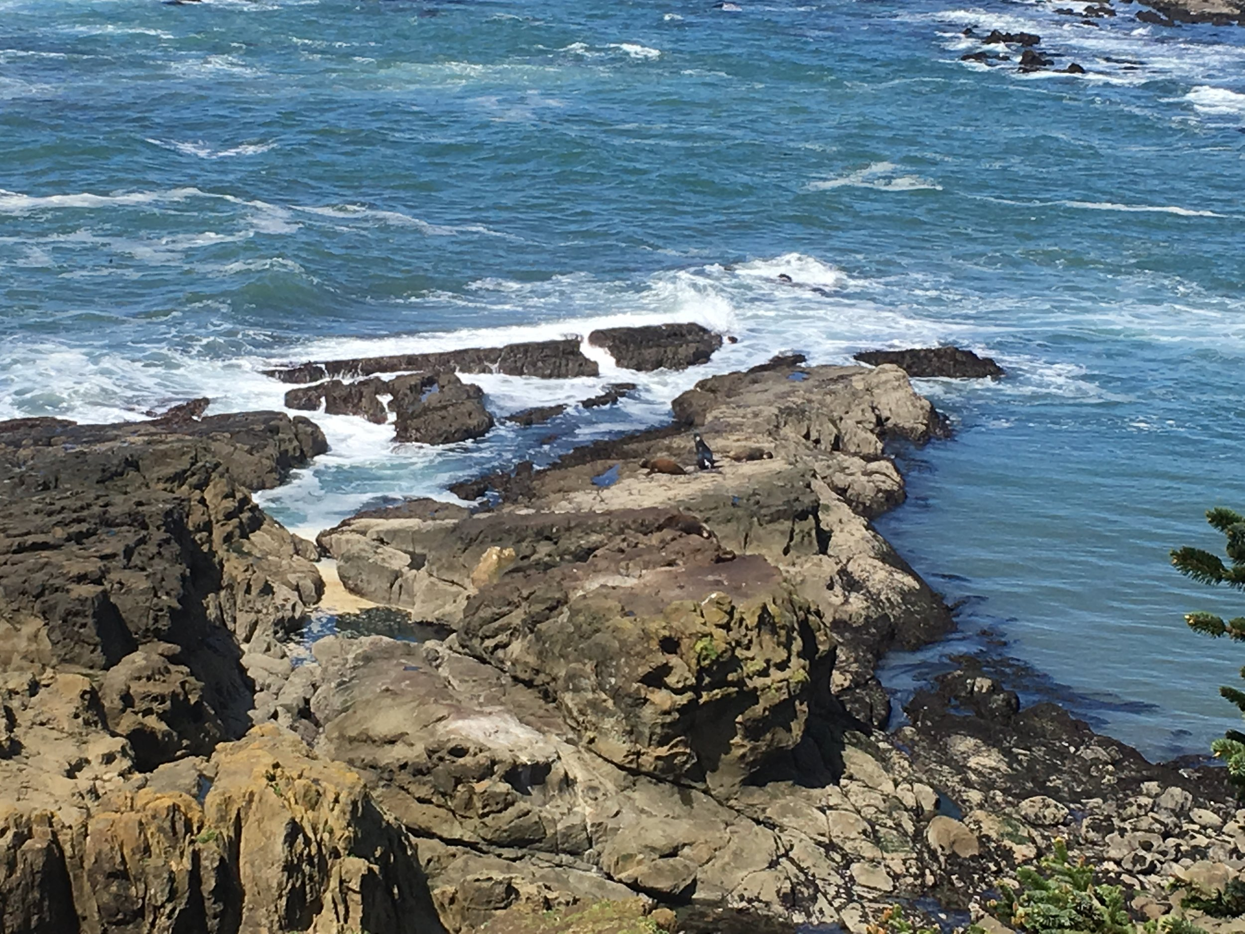 Cape Arago. Can you spot the huge sea lions?