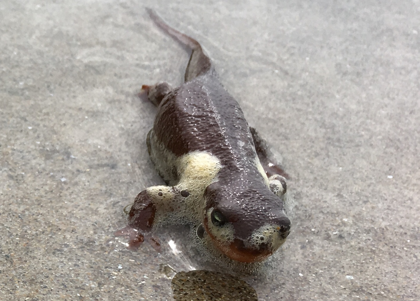 Found this little salamander covered in sea foam. Tillicum Beach Campground, OR.