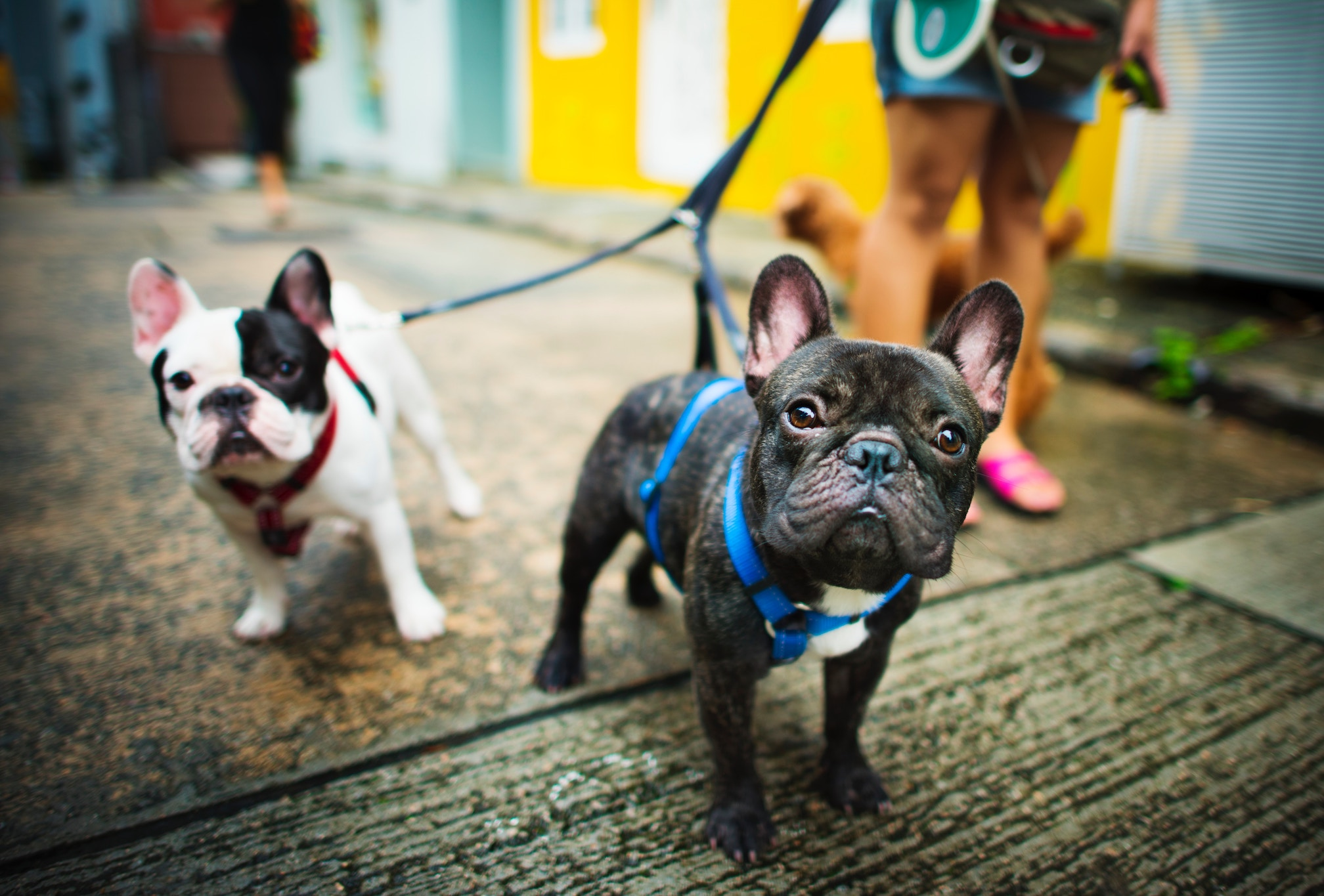 french-bulldogs_find-dog-walker