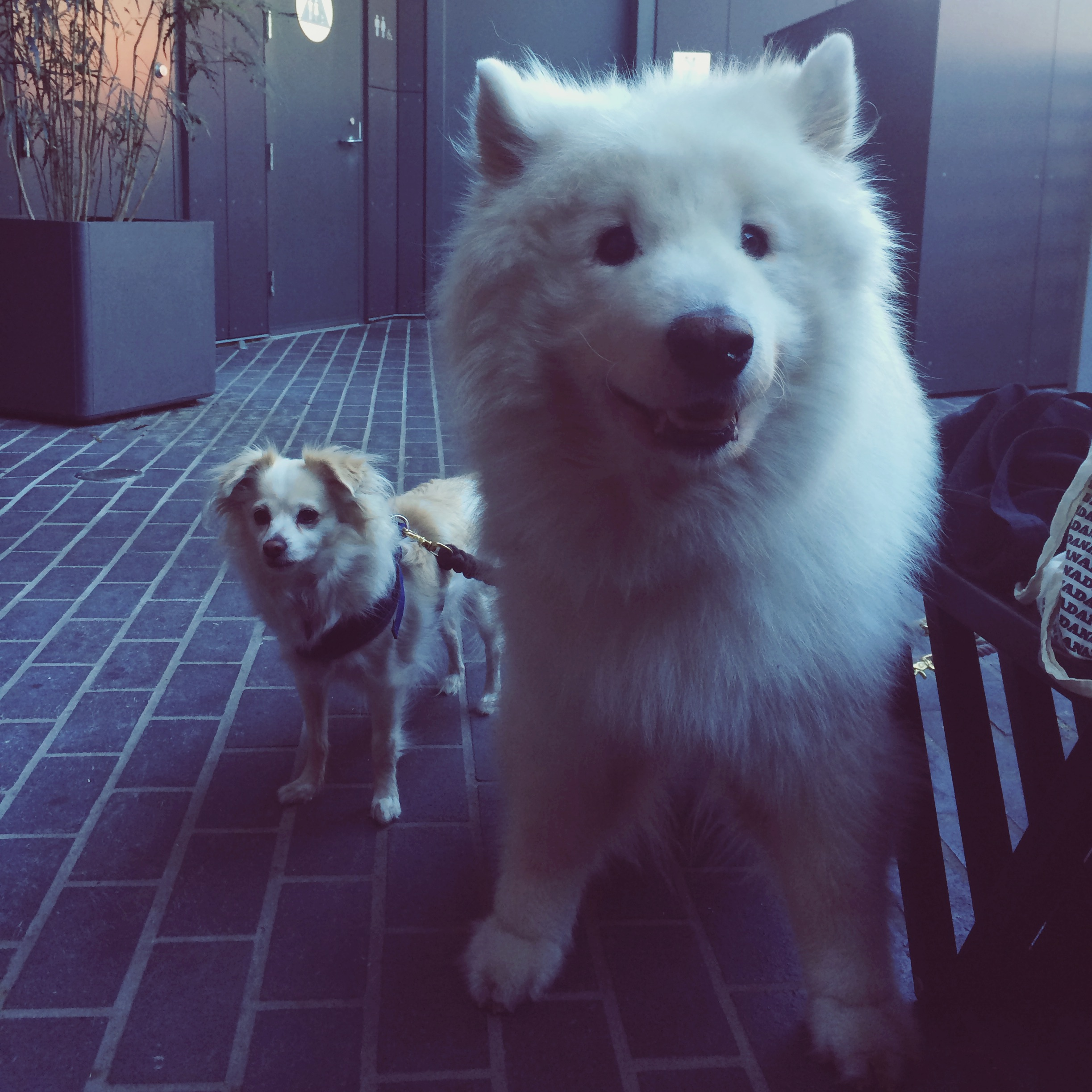 flowers? what flowers? i want to play with this dog NOW! @cogcoffee #samoyed #higuys #bigonelittleone #dontforgetaboutme