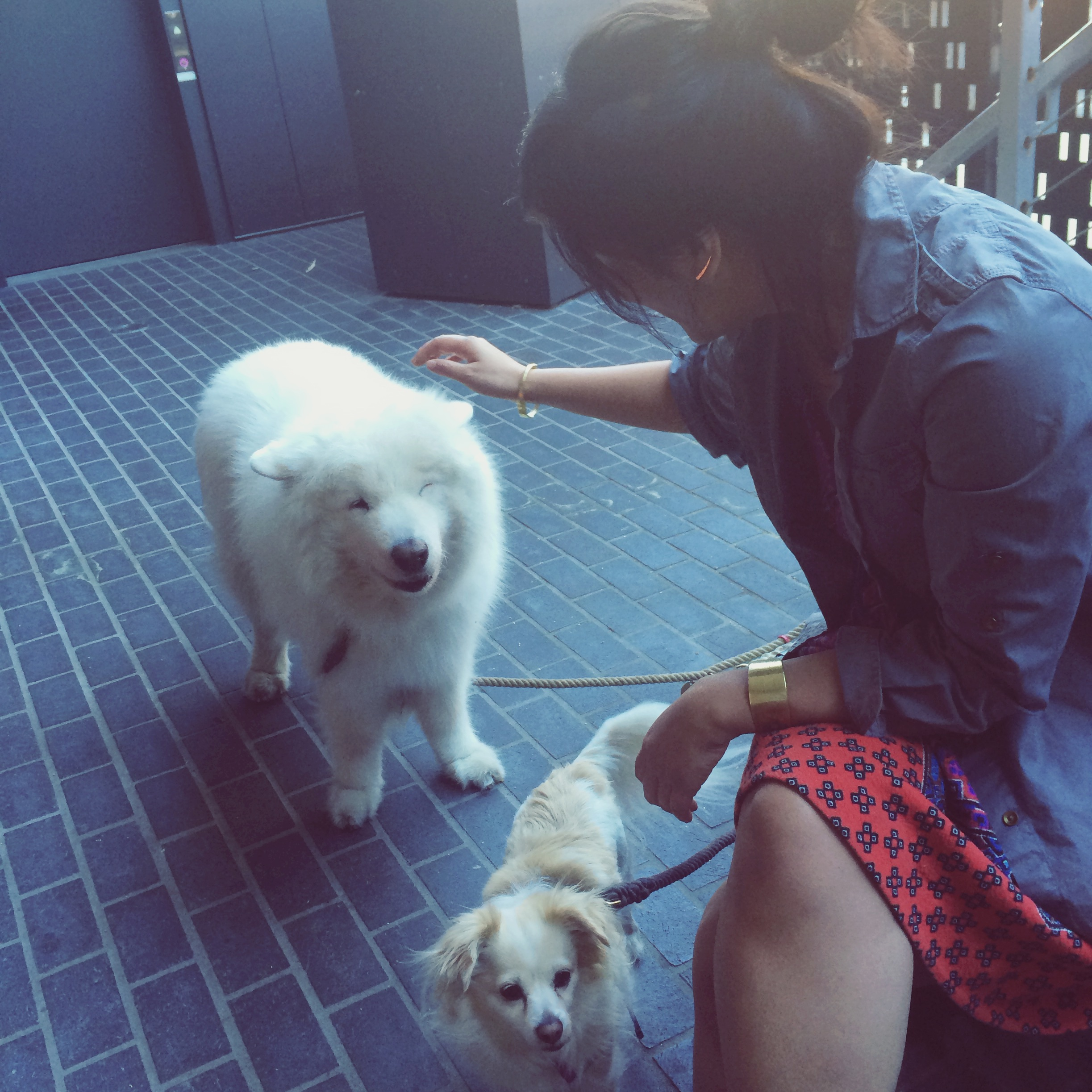 a samoyed #winked at my sister! although she saidhe was really squinting and saying he wasn't sure about this
