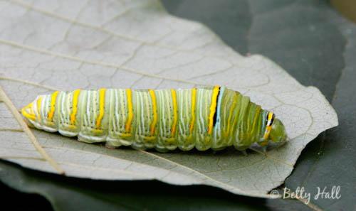 zebra-swalowtail-caterpillar.jpg