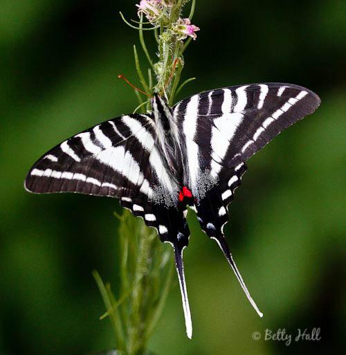 https://www.bettyhallphotography.com/zebra-swallowtail-butterfly/