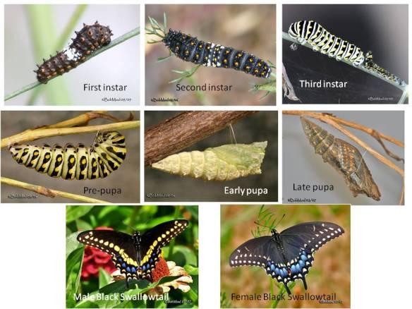https://bybio.wordpress.com/tag/caterpillar-color-variation/