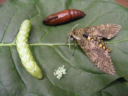 http://www.frontlinegenomics.com/press-release/7116/researchers-sequence-genome-tobacco-hornworm/