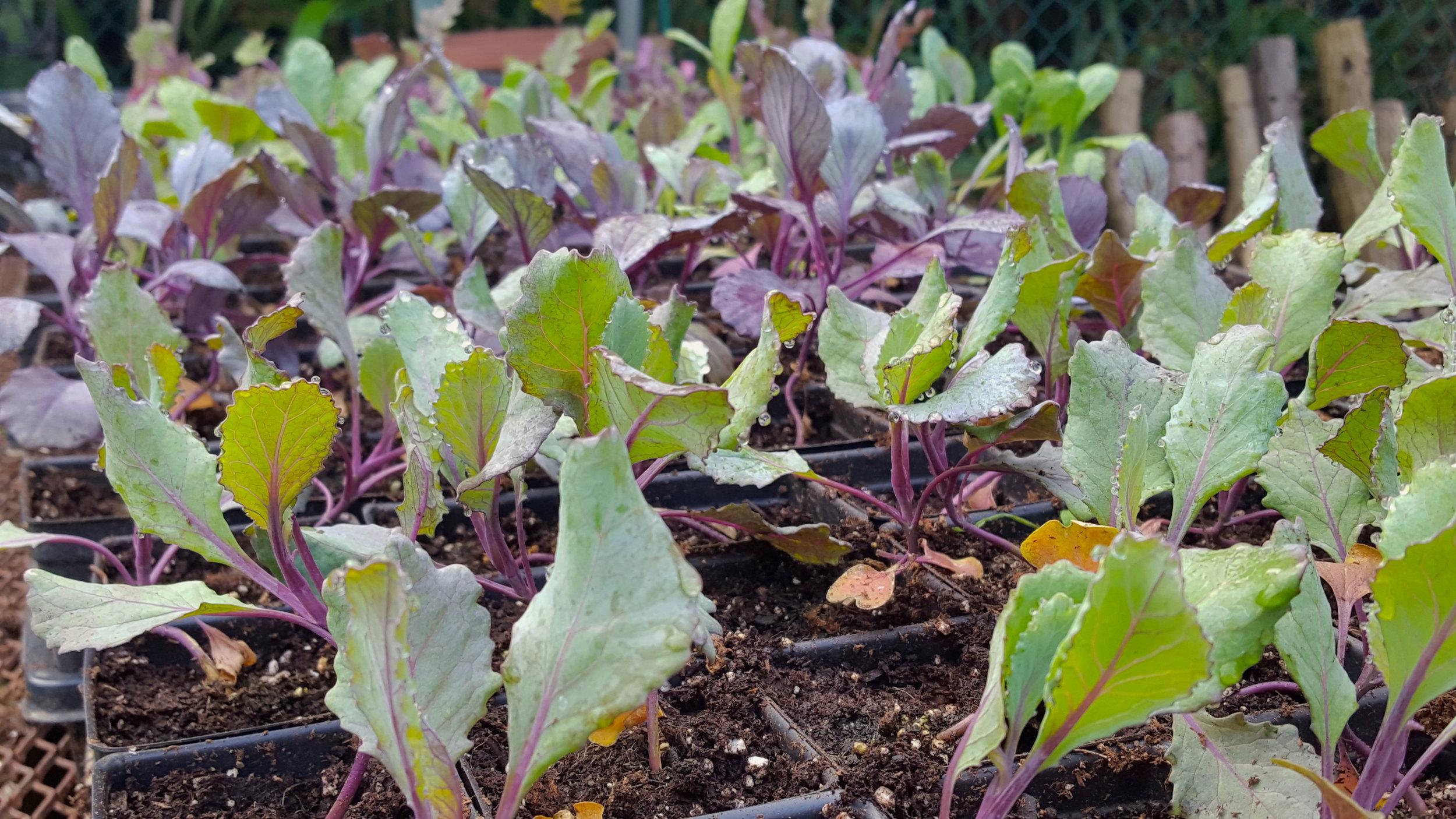 kale seedlings.jpg