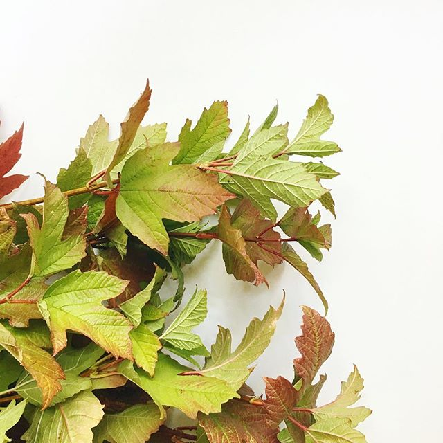 Soo ready for this heatwave to be over. My scarves are getting antsy... 🍁🍂 . . . #fallfoliage #vibernum #leaves #feelslikefall #fall #october #flowers #floraldecor #floralinspo #floraldesign #floralarrangement #laflorist #losangelesflorist #imaflorist