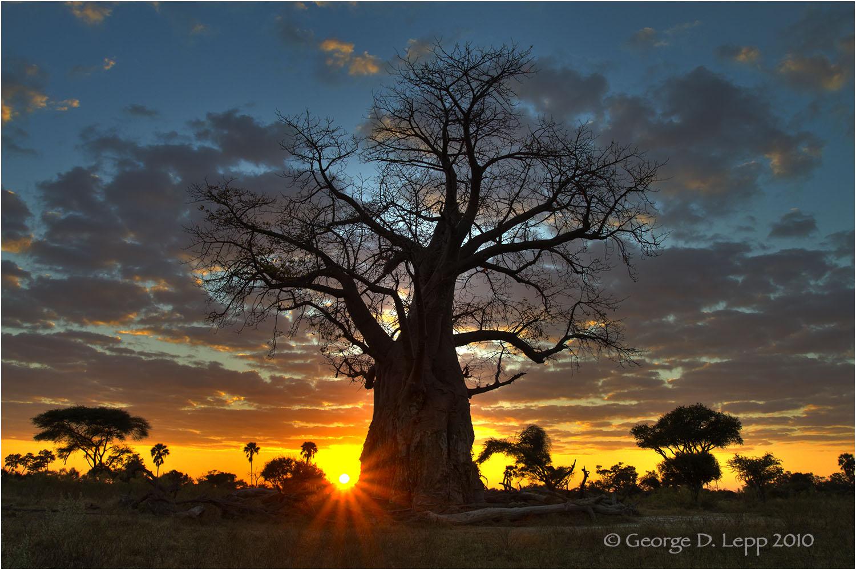 A baobab tree in Botswana at sunrise. © George D. Lepp 2010 LA-BO-MO-0004
