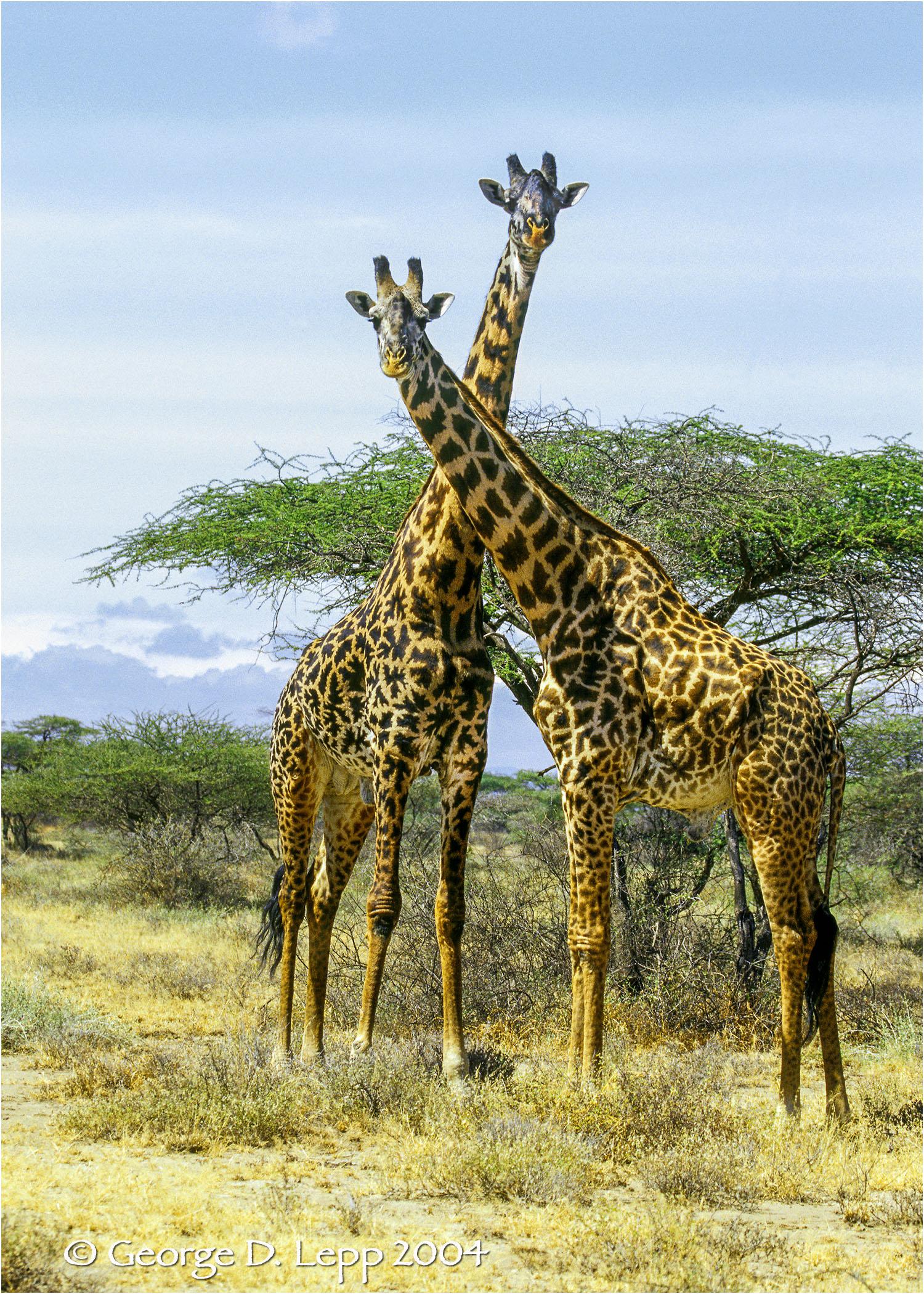 Giraffes in Tanzania. © George D. Lepp 2001 M-GI-0002